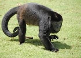 Desinformação sobre febre amarela coloca macacos em perigo