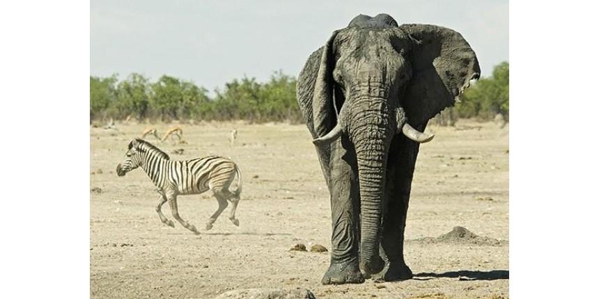 ESPETACULAR - Principal atrativo da Namíbia, o Parque Nacional Etosha é palco para a observação de vida selvagem