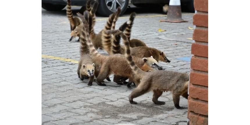 Quatis invadem shopping em busca de comida