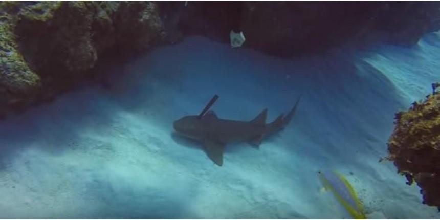 Mergulhador retira faca cravada na cabeça de tubarão