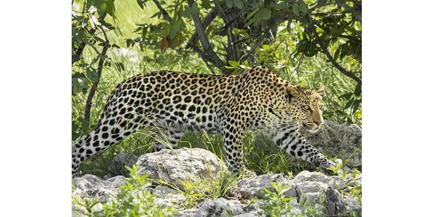 Em safári fotográfico, encontrar leopardos em seu hábitat é como ganhar na loteria