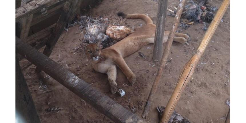 Onça parda invade galinheiro e mata mais de 40 aves