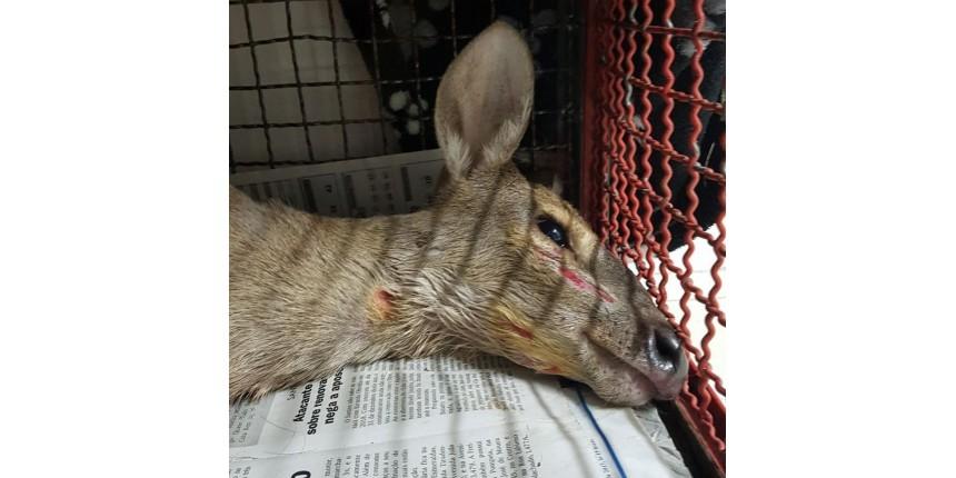 Veado é capturado com ferimentos no quintal de casa em bairro de Marília