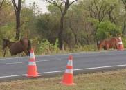 Motociclista morre em acidente envolvendo cavalos soltos em rodovia