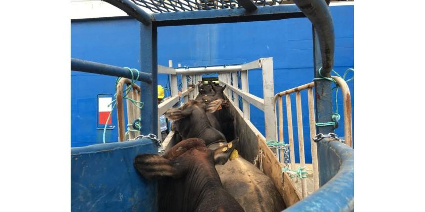 Megaoperação embarca mais de 27 mil bois em navio no Porto de Santos