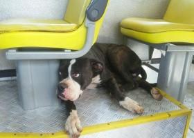 Cachorra boxer se perde de dona e é resgatada...
