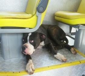 Cachorra boxer se perde de dona e é resgatada ao...