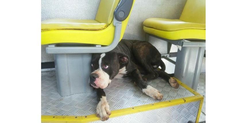 Cachorra boxer se perde de dona e é resgatada ao pegar 'carona' em ônibus