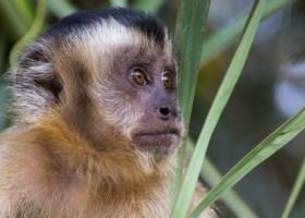 'Se matarem macacos, mosquitos vão atrás de sangue humano': como massacre de...