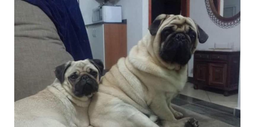 Família que chegou a oferecer carro como recompensa por casal de pugs recupera os cães