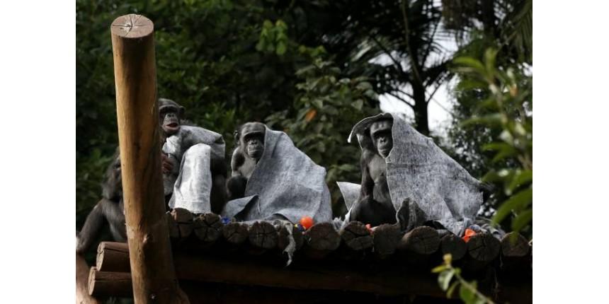 Frio faz Zoológico de São Paulo entregar cobertores a chimpanzés