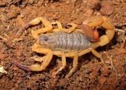 Saiba o que fazer em caso de picada de escorpião