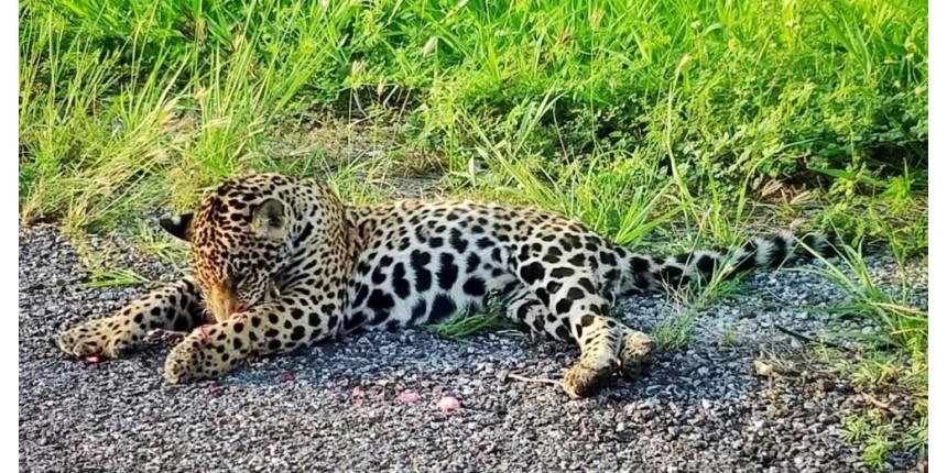 'Rodovia da Morte': seis animais morrem atropelados por dia na BR-262 que cruza o Pantanal de MS
