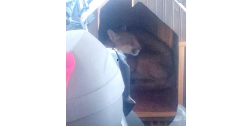 Bombeiros resgatam onça-parda escondida em casinha de cachorro
