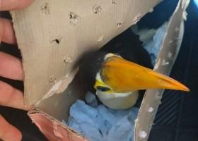 Casal é multado em R$ 14 mil por transportar filhotes de tucano...