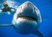 Maior tubarão branco do mundo é visto na costa do...