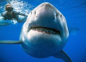 Maior tubarão branco do mundo é visto na costa do Havaí
