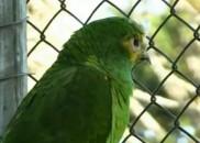 Papagaio roubado volta sozinho ao zoológico dois dias depois do...