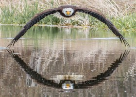 A incrível foto de águia que viralizou e surpreendeu fotógrafo amador: 'Senti...