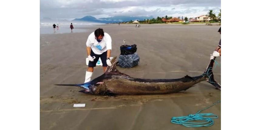 Peixe gigante raríssimo de mais de 200 Kg é achado em praia de SP