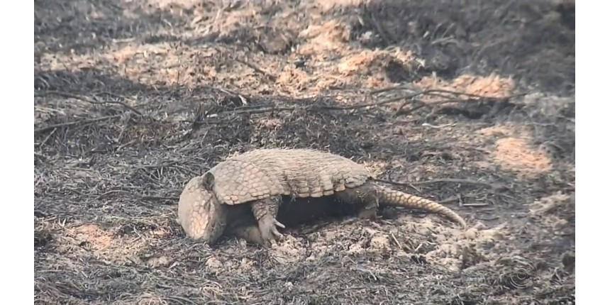 Animais são encontrados carbonizados em área de reserva ambiental atingida por queimada