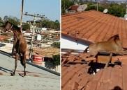 Cavalos sobem em telhado e resgate mobiliza Corpo de Bombeiros...