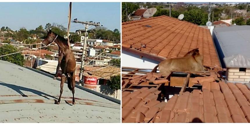 Cavalos sobem em telhado e resgate mobiliza Corpo de Bombeiros no interior de SP