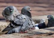 Entenda a doença do cocô do pombo, que matou dois...
