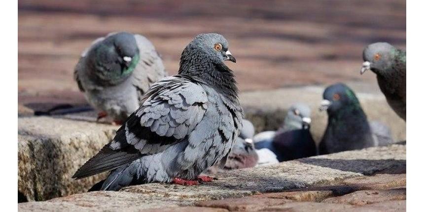 Entenda a doença do cocô do pombo, que matou dois homens