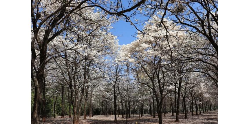 Nova florada de Ipês Brancos é atração no Bosque Municipal de Marília