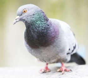 Por que há mais pombos com pés mutilados perto de...