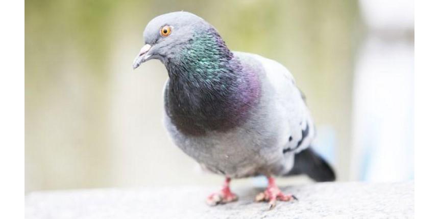 Por que há mais pombos com pés mutilados perto de salões de beleza