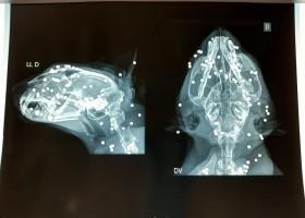 Imagem de raio X mostra gato morto com mais de 100 perfurações...