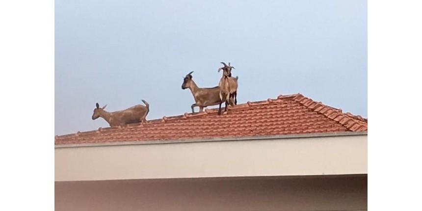 Cabras sobem em telhado e chamam atenção de moradores no interior de SP: 'Pensei que eram renas de Natal'