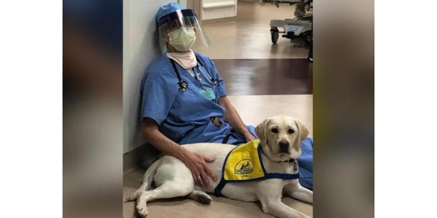 Labrador treinado conforta profissionais de saúde que atendem covid-19