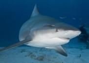Grávida salva marido de ataque de tubarão